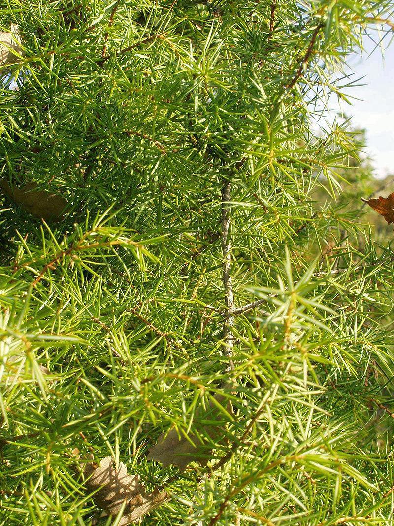 Informatii despre ienupar sfaturi pentru cresterea si Plante decorative