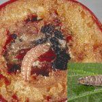 4 molia orientala a fructelor