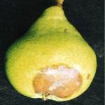 putregaiul fructelor